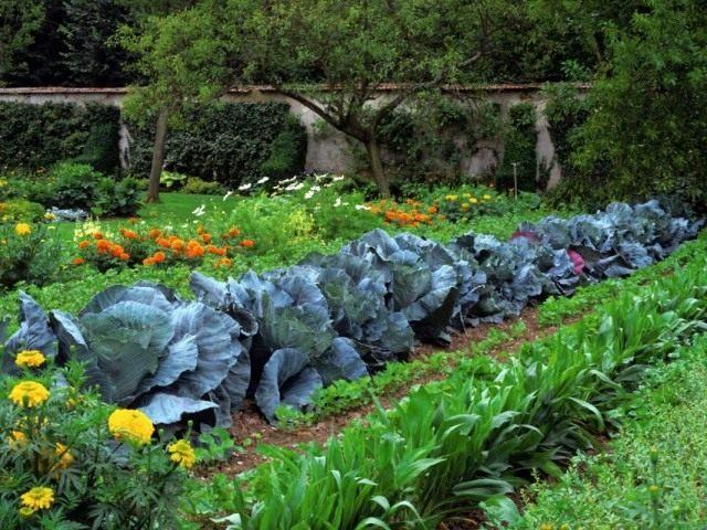 Совместная посадка овощей и цветов, отпугивающих насекомых вредителей