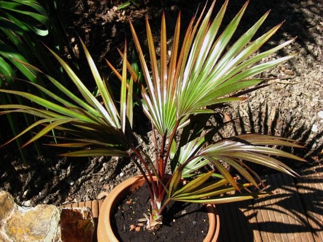 Пальма Латания (Latania)