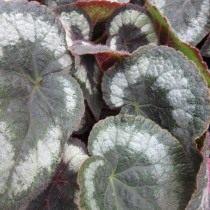 Бегония кольчатая (Begonia annulata)