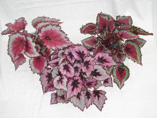 Бегонии королевские (Begonia rex)