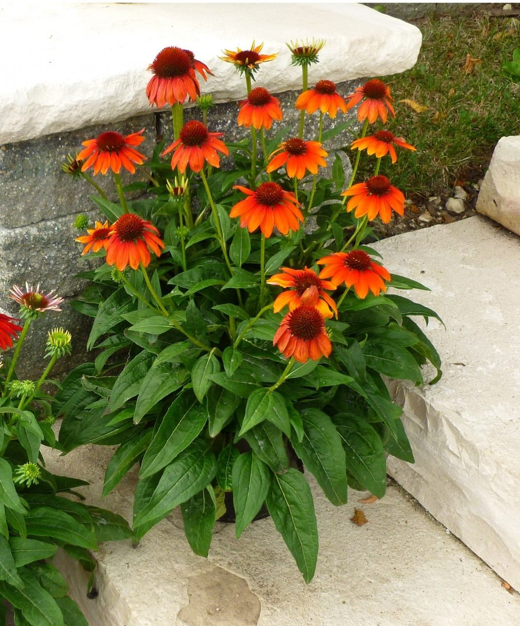 Echinacea-Sombrero-Flamenco-Orange-2