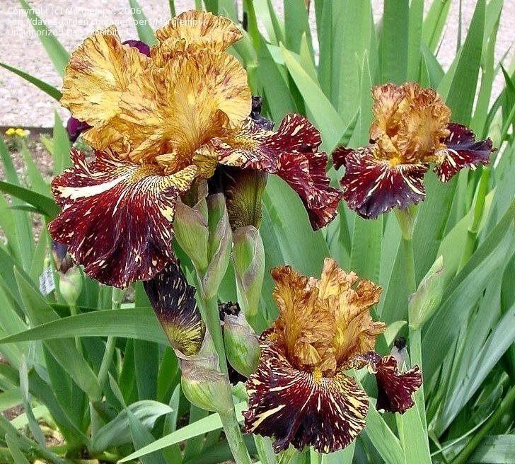 Iris-Spiced-Tiger-3