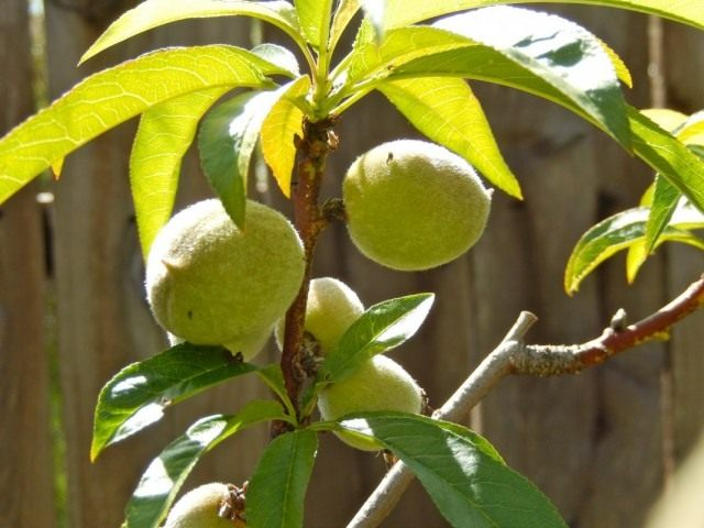 Плоды персика на дереве