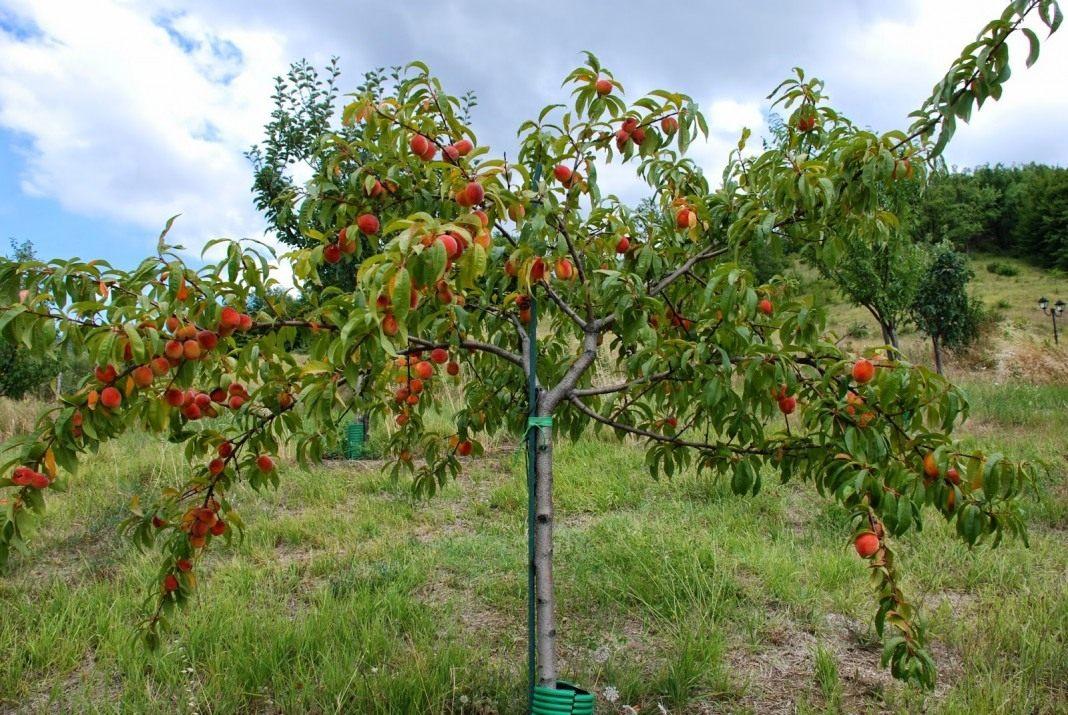 Посадка уход и обрезка персиков