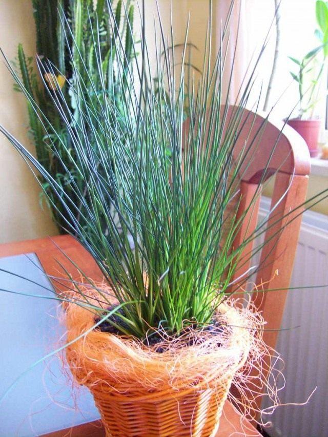 Ситник развесистый «Карандашная трава» (Juncus effusus 'Pencil Grass')