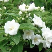 Чубушник «Белый букет» или «Буке Бланш» (Philadelphus 'Bouquet Blanche')
