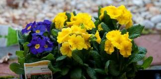 Первоцвет высокий, или Примула высокая (Primula elatior)