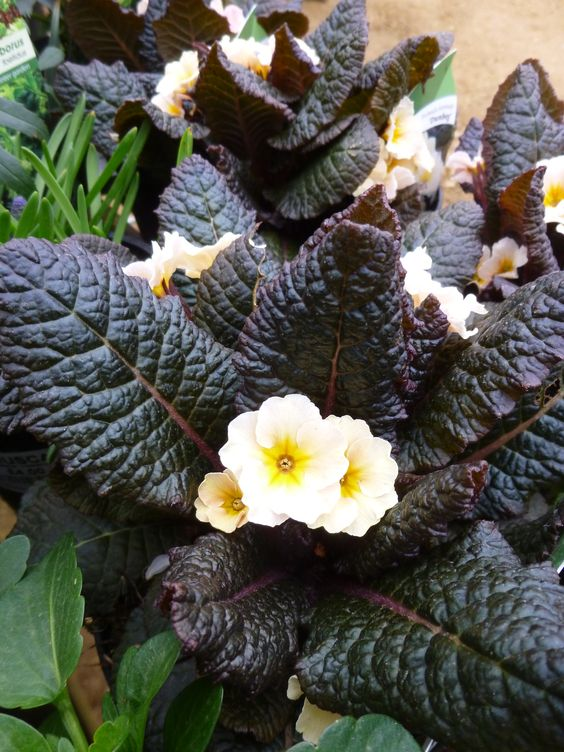 Primula-vulgaris-Dunbeg-2