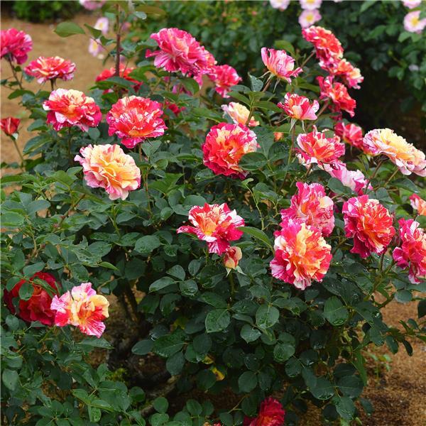 Rose-Maurice-Utrillo-2