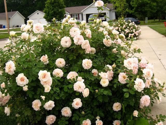 Rose-Morden-Blush-3