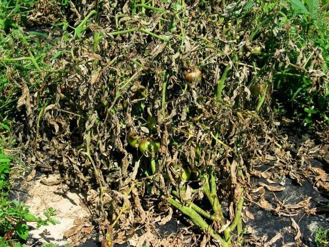 Куст томата поражённый фитофторой