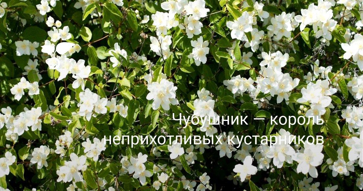 Чубушник кавказский