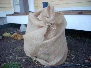 Гортензия, укрытая на зиму мешковиной