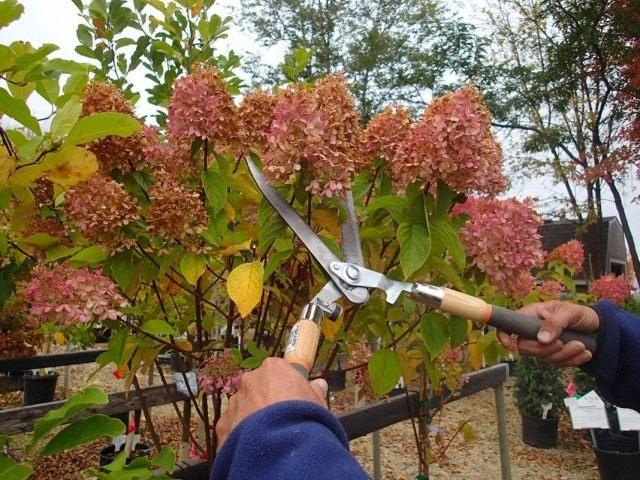 Осенняя подготовка гортензий к укрытию на зиму