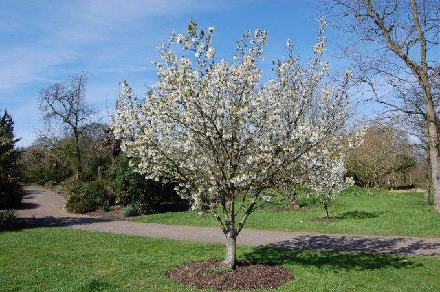 Грушевое дерево в цвету