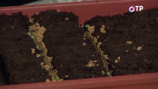 Высеваем культуру сухими семенами