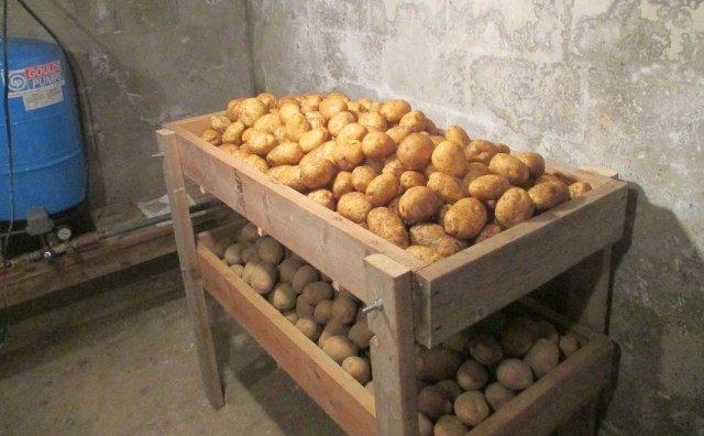 Картофель на хранении в погребе