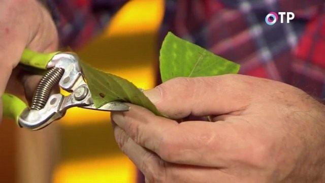 Укорачиваем листовые пластинки