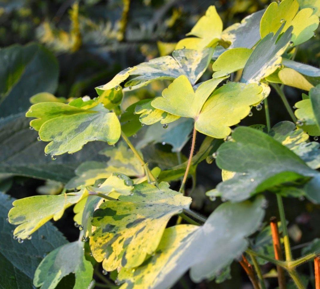 Aquilegia-vulgaris-Leprechaun-Gold-3