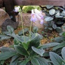 Примулина линейнолистная (Primulina linearifolia)