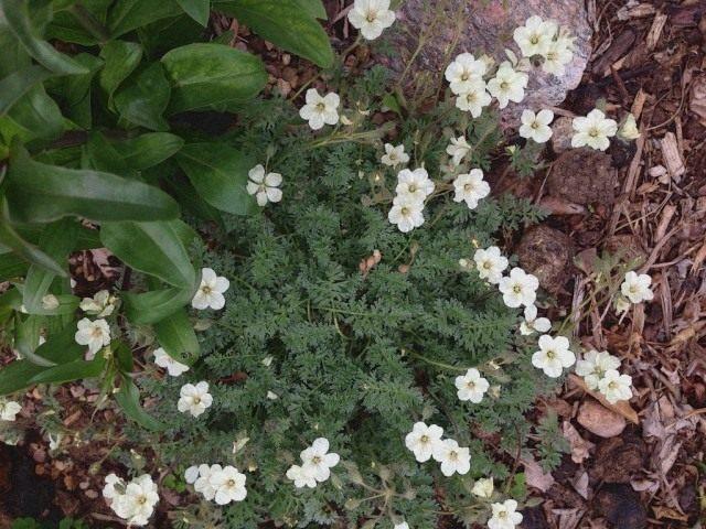 Аистник золотистый (Erodium chrysanthum)