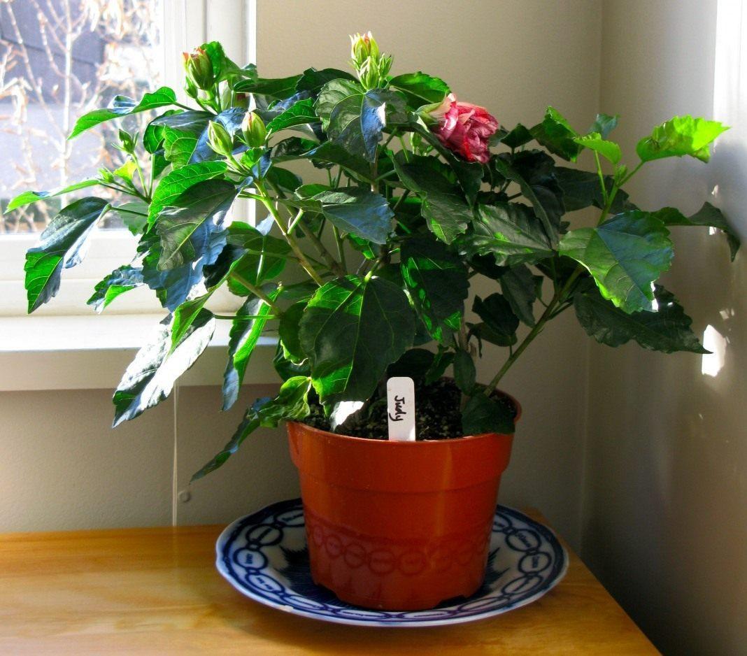 Комнатная китайская роза в картинках и уход за ней