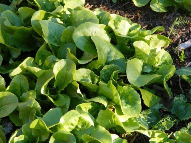 Латук посевной, или Салат латук (Lactuca sativa)