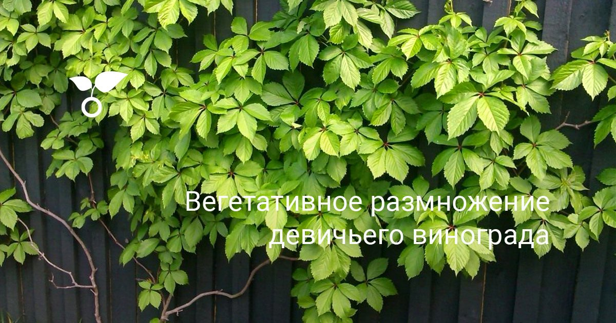Как посадить девичий виноград черенками