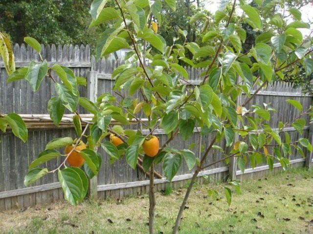 Молодое дерево хурмы с плодами
