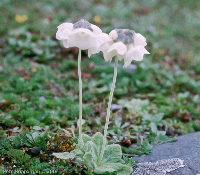 Primula-wigramiana-1