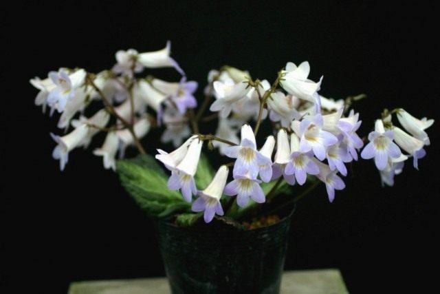 Примулина (Primulina sclerophylla)