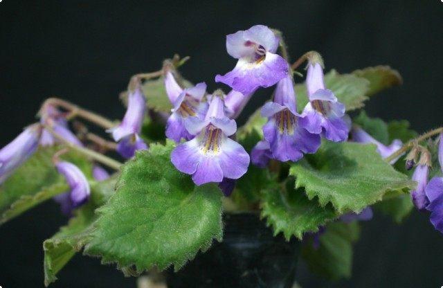 Примулина (Primulina fimbrisepala)