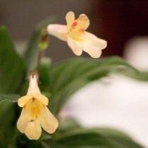 Примулина «Айко» (Primulina 'Aiko')