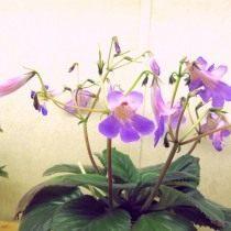 Примулина «Минеко» (Primulina 'Mineko')