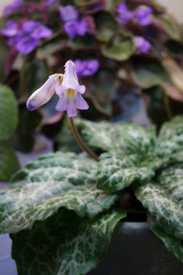 Примулина дриада «Хисако» (Primulina dryas 'Hisako')