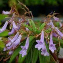 Примулина лонггангская (Primulina longgangensis)