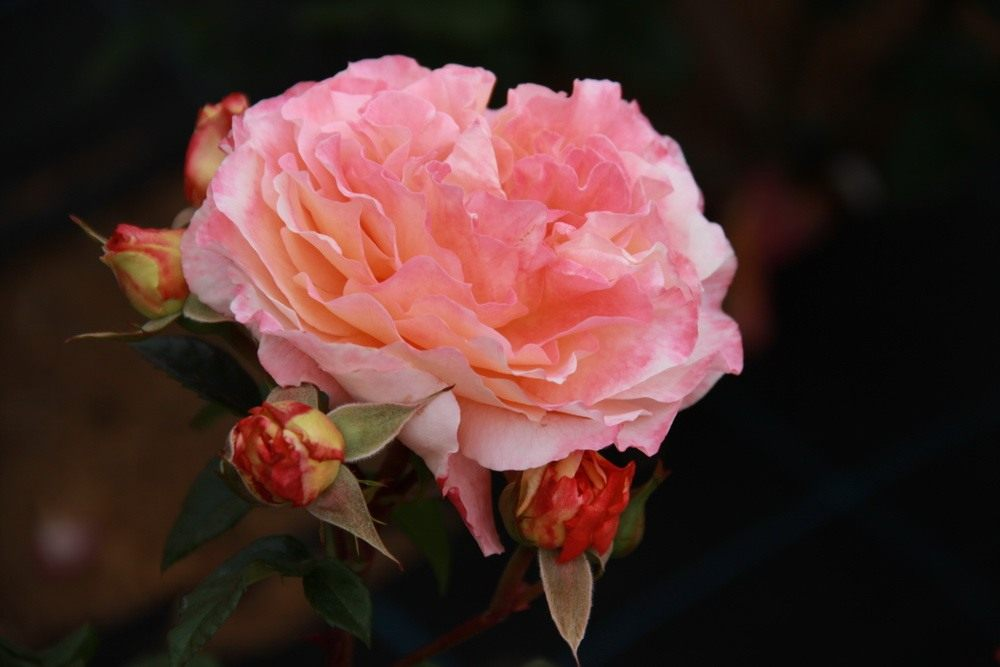 Rose-Augusta-Luise-1