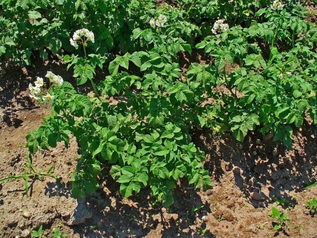 Картофель, или Паслён клубненосный (Solanum tuberosum)