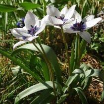 Тюльпан карликовый «Alba Coerulea Oculata»