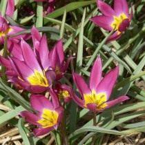Тюльпан карликовый «Violacea»