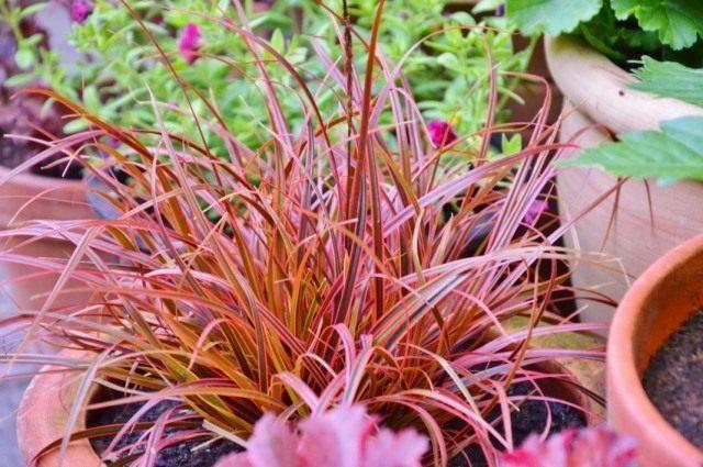 Унциния красная «Эверфлэйм» (Uncinia rubra 'Everflame')