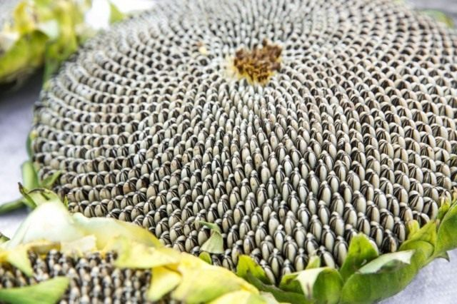 Семена подсолнечника в соцветии
