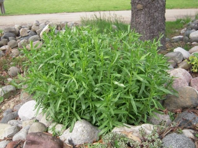 Полынь эстрагонная, или эстрагон, или тархун (Artemisia dracunculus)