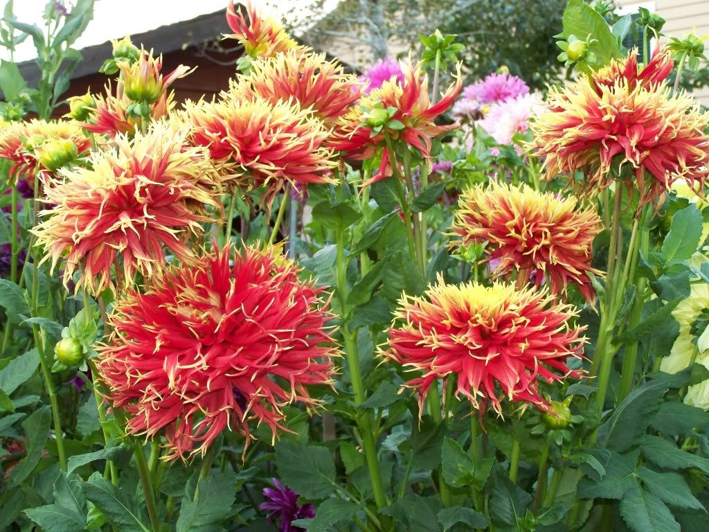 Dahlia-Show-and-Tell-2