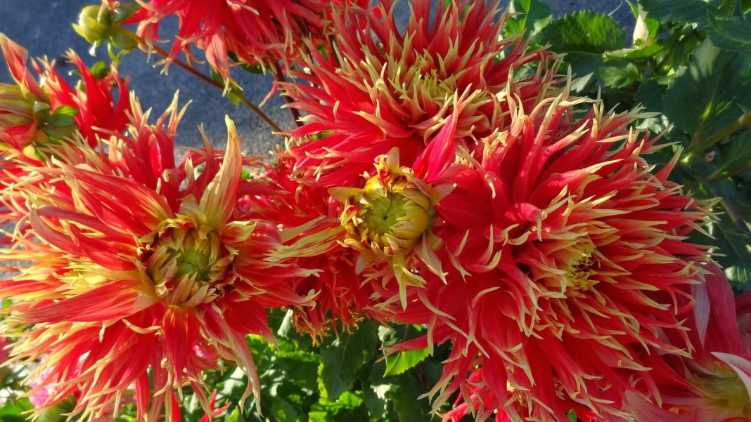 Dahlia-Show-and-Tell-3