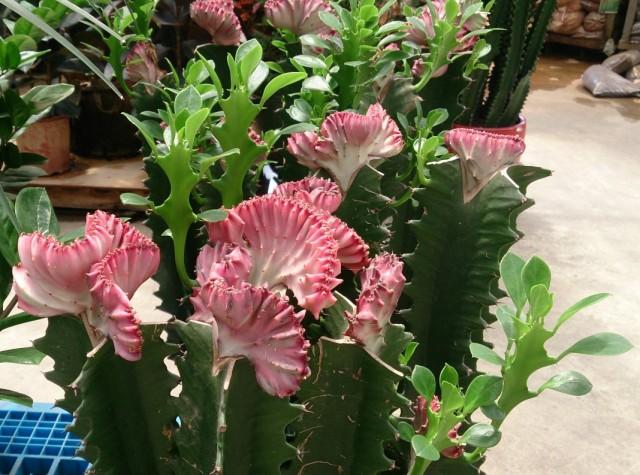Молочай молочный формы кристата (Euphorbia lactea f. cristata)