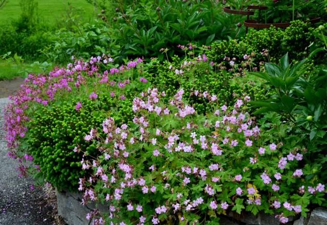 Цветник из трёх многолетних растений: герани, пионов и ели карликовой
