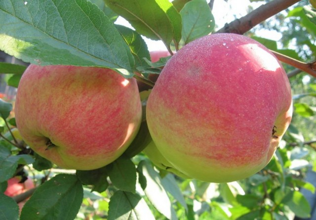 Яблоки сорта «Медуница»