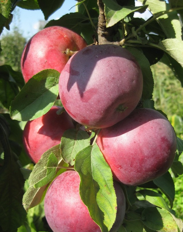 Яблоки сорта «Московское ожерелье»