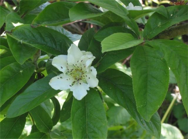 Цветок мушмулы германской